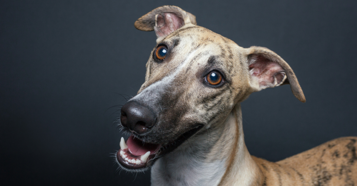 whippet wins crufts